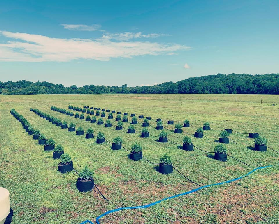 King of Seeds cannabis growing in Maryville field